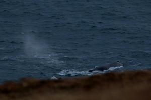 Humpback Whale close into shore at Tiumpanhead. Shot by Walter Innes WDC.